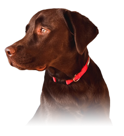 Chocolate lab sitting against white wall