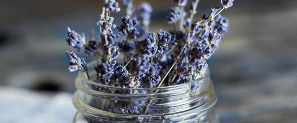 Lavender plant in a mason jar